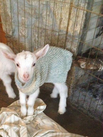 goatsnuggle1