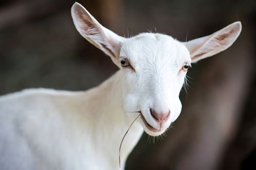 goatsnuggle2