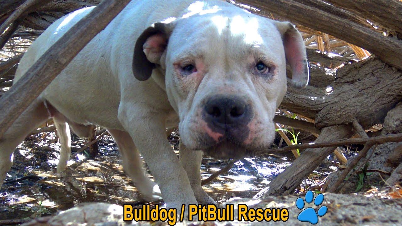 scared homeless bulldog pitbull living in the bushes