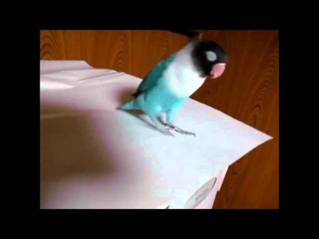 Cute Parrot Tap Dancing