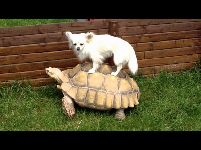 Funny animals riding turtles – Animal compilation